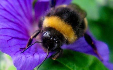 Bumblebee_real