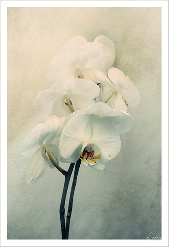 Orchid_2