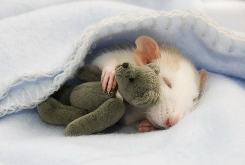 Mouse_sleeping